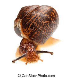 snail (edible snail) - edible snail on a white background