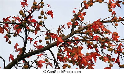 Autumn Sweetgum HD Loop