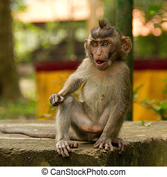Macaque monkey portrait shocked
