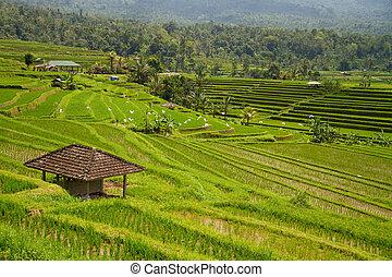 arroz, Terraços,  Bali,  jatiluwih