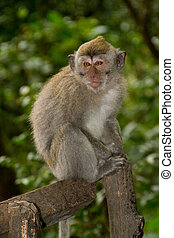 Macaque monkey portrait sitting