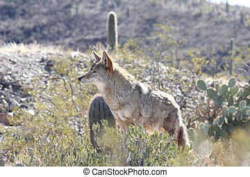 Coyote Searching for pray