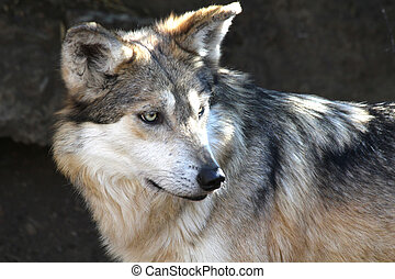 Mexican Gray Wolf staring at its pray