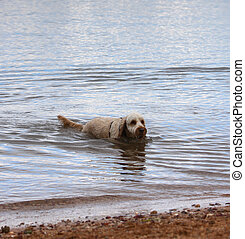 Swimming Dog - A furry dog swimming in the ocean