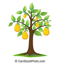 pears in tree - illustration of pears in tree on white...