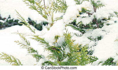 tree with snow-pan - snow falling on a pine tree branch
