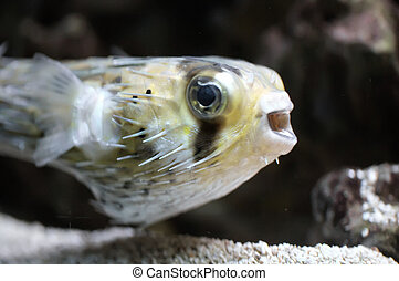 Fish - The tropical fish - puffer fish