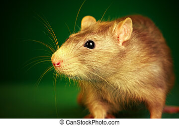 Rat on a green background