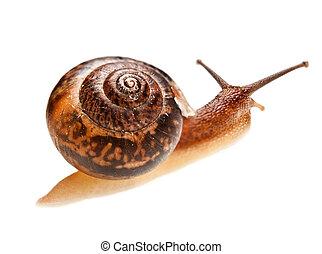 snail (edible snail)