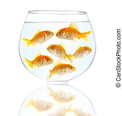 pequeno, Peixes, Ouro