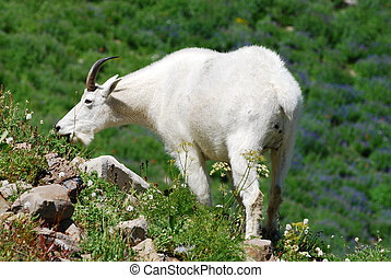 Mountain Goat Grazing - Rocky Mountain goat grazing...
