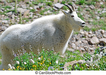 Rocky Mountain Goat - Rocky mountain goat standing in...
