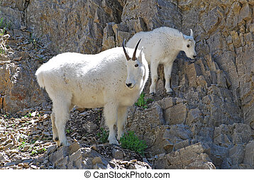 Mountain Goats - Mother and baby mountain goat climbing a...