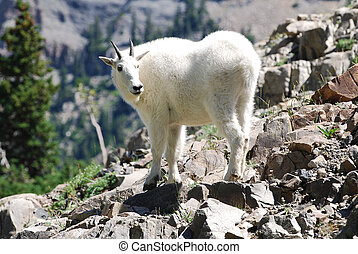 Mountain Goat - Rocky mountain goat climbing a rocky cliff...