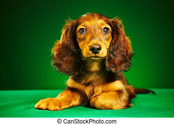 puppy dachshund on a green background