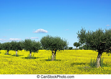 Olives tree in yellow field at Portugal.