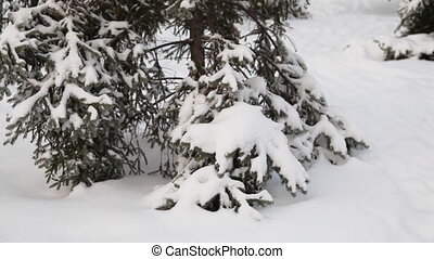 Pine tree under snow Dolly shot