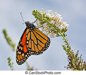 Monarch Butterfly - A Monarch Butterfly on a flower
