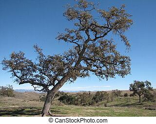 Lone Oak - Oak in Lasky Mesa, Calabasas, CA