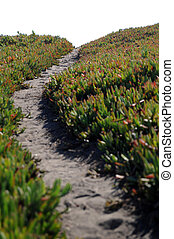 Ice Plant Field with Dirt Pathway