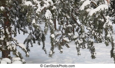 Pine tree under snow sequence - Pine tree under snow . Dolly...