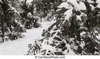 Pine tree under snow sequence - Pine tree under snow Dolly...