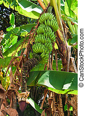 Banana plant detail - Bananas on a banana plant in a...