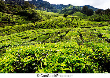 Tea platation in the Cameron Highlands in Malaysia
