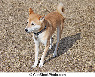 Inu Shiba Dog - Full shot of a male Inu Shiba breed of dog