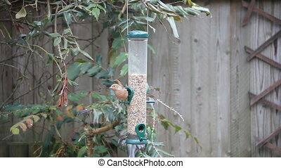Chaffinch on a Bird Feeder