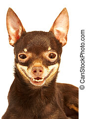 Russian toy-terrier.Ridiculous dog