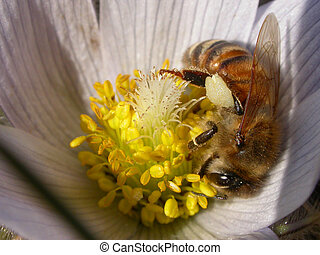 honeybee on a spring crocus - honeybee collecting pollen...
