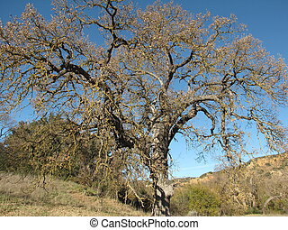 Paramount Ranch Oak - Oak tree in Paramount Ranch, Malibu,...