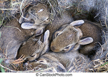 Baby Bunnies Huddled in Their Nest - Four baby bunnies...