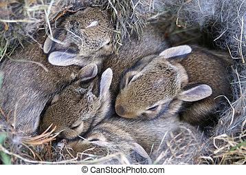 Baby Bunnies Huddled in Their Nest - Four baby bunnies...