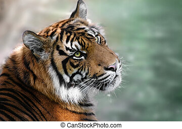 tiger - photo of tiger looking up with green background