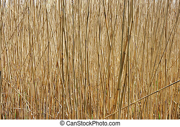 texture of the old dry sedge, background