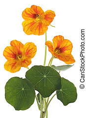 nasturtium - Studio Shot of Red and Yellow Colored...