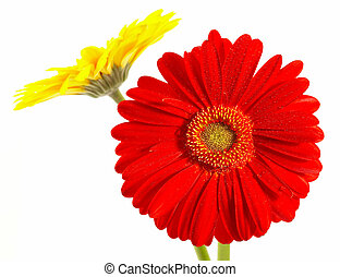 Red and yellow flower on a white background