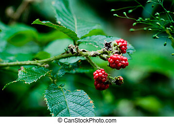 Blackberry - Red blackberry with leaves and thorns. Rubus...