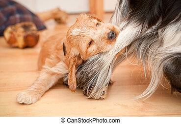 dog and bone - playful spaniel puppy biting the leg of a...