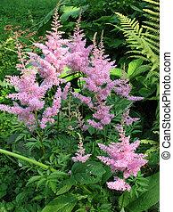 Astilbe, family Saxifragaceae