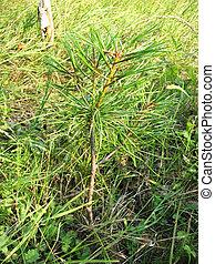 Seedling Pinus sibirica