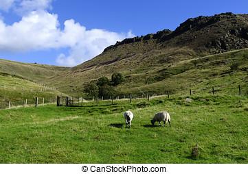 Female Sheep