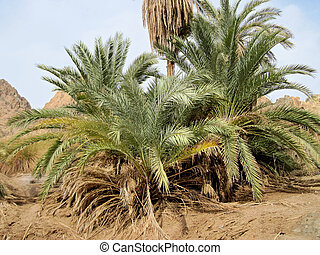 Green valley on Sinai.  - Oasis on Sinai.