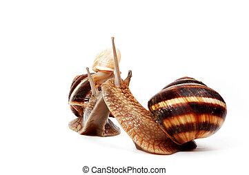 garden snails family