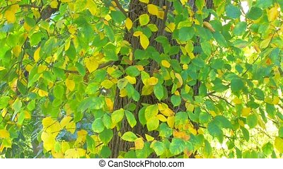 autumnal leaves - Tree branch with yellow and green leaves,...