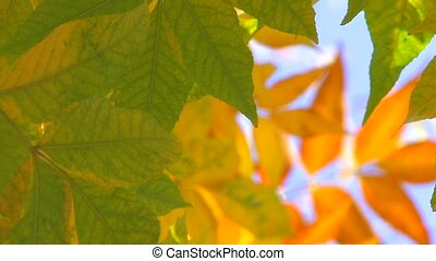 autumnal leaves - Green leaves against defocused yellow leaf...