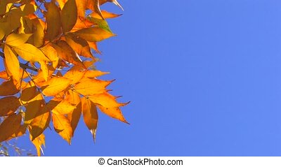 Autumn gold leaves against the clear blue sky in sunlight,...