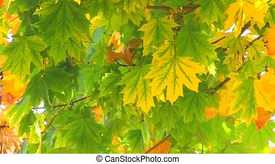Moving maple tree branch with green and yellow leaves,...
